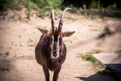 Sable antelope. Hippotragus niger in natural habitat, South Africa Royalty Free Stock Photos