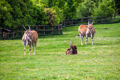 Sable antelope. (Hippotragus Niger) in Prague zoo Stock Photo