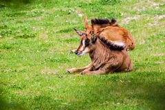 Sable antelope Stock Photo