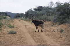 Sable antelope Stock Photos