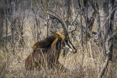 Sable antelope in Kruger National park, South Africa Royalty Free Stock Image