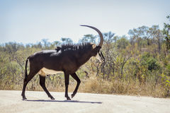 Sable antelope in Kruger National park, South Africa. Specie Hippotragus niger family of bovidae stock photography