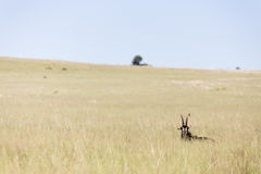 Sable Antelope Landscape Stock Photography