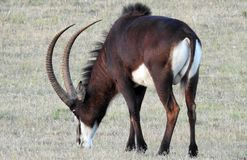 Sable Antelope. Male Sable Antelope grazing on the plains of South Africa Royalty Free Stock Image