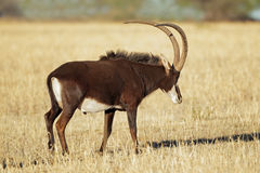 Sable antelope. Male sable antelope (Hippotragus niger) with magnificent horns, South Africa Royalty Free Stock Photos