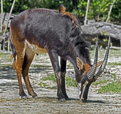 Sable antelope 6 Stock Photography