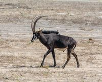 Sable Antelope. A Sable antelope in Namibian savanna Royalty Free Stock Photography