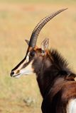 Sable antelope portrait. Portrait of a rare sable antelope (Hippotragus niger), South Africa Stock Photos