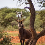 Sable Antelope. In Southern African savanna Stock Photography