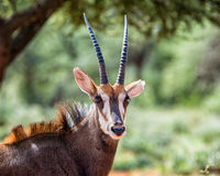 Sable Antelope. In Southern African savanna Royalty Free Stock Image