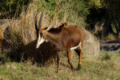 Sable Antelope Royalty Free Stock Photos