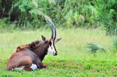 Sable antelope in zoo Stock Photography