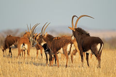 Free Sable Antelopes Stock Image - 49327081