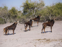 Sable antelopes. Sable antelope (Hippotragus niger) in Botswana Stock Images