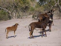 Sable antelopes. Sable antelope (Hippotragus niger) in Botswana Stock Photography