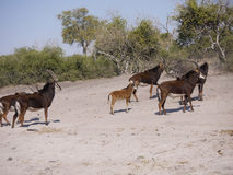 Sable antelopes. Sable antelope (Hippotragus niger) in Botswana Stock Photos