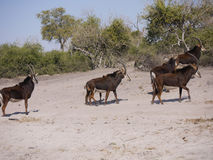 Sable antelopes Royalty Free Stock Photo