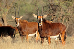 Sable antelopes Stock Photo