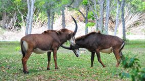 Sable antelopes (Hippotragus niger) Stock Photography