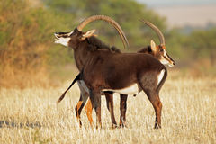 Sable antelopes. Pair of sable antelopes (Hippotragus niger), South Africa Stock Photography