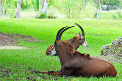 Sable Antelopes Resting Stock Photo