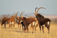 Sable antelopes Stock Image