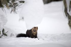 Sable on a background of snowdrifts royalty free stock photo