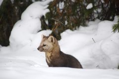 Sable on a background of snowdrifts and woods stock photos