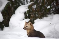 Sable on a background of snowdrifts and woods royalty free stock photo