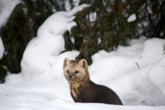 Sable on a background of snowdrifts and woods stock image