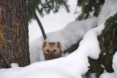 Sable on a background of snowdrifts and woods royalty free stock images