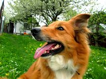 Sable border collie. Dog on a garden Stock Images