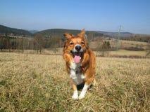 Sable border collie dog on meadow. Sable border collie dog standing on a meadow, open mouth Royalty Free Stock Photos