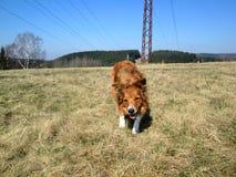 Sable border collie dog on meadow. Sable border collie dog standing on a meadow, open mouth Stock Image