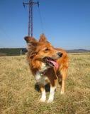 Sable border collie dog on meadow. Sable border collie dog standing on a meadow, open mouth Stock Photography