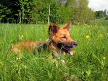Sable border collie in grass. Sable border collie dog lying in tall grass Stock Image