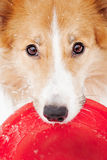 Border collie holding toy Stock Photo