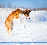 Sable border collie jump Stock Images
