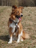 Sable border collie on meadow. Early spring Stock Image