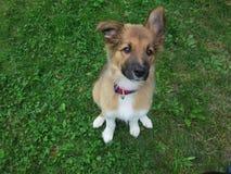 Sable border collie puppy. Sable border collie puopy dog siting Stock Photo