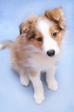 Sable border collie puppy. Sable color border collie puppy on the blue background Stock Image