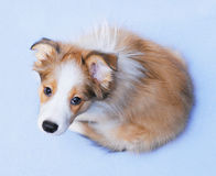 Sable border collie puppy. Sable color border collie puppy on the blue background Stock Images