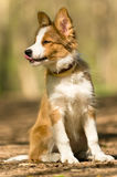 Sable border collie puppy Royalty Free Stock Photography