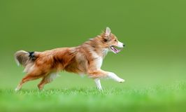 Sable border collie running forward. In the summer field royalty free stock image
