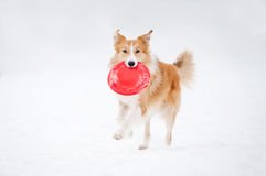 Border collie runs with toy Stock Images