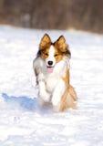 Sable border collie runs Stock Photo