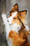 Sable border collie and tree, close up Royalty Free Stock Image