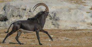 Sable bull. Sable Antelope bull trotting up the banks of the Chobe River Royalty Free Stock Image