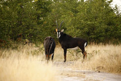 Sable Bull Antelope. The Sable antelope are very rare, solitary creatures Stock Photo