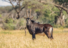 Sable Bull Stock Photo